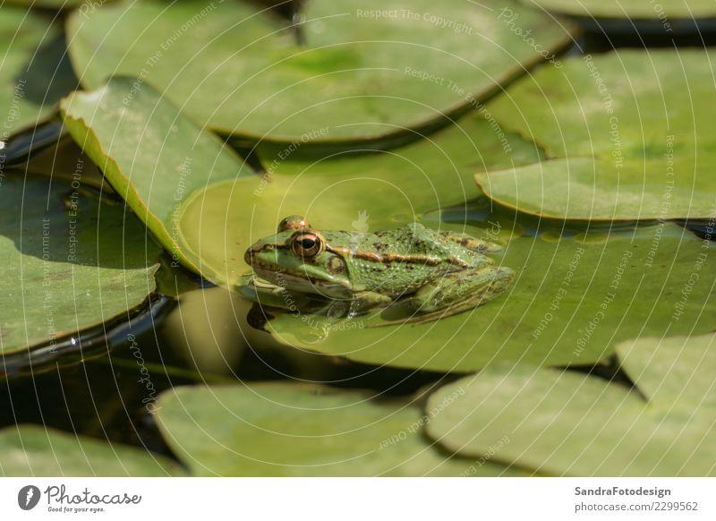 A green frog sitting in the pond full of water lilies Natur Sommer grün Wasser Sonne Erholung Tier Freude Leben Hintergrundbild Frühling natürlich Glück See