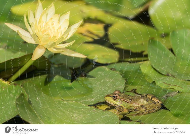A green frog sitting in the pond full of water lilies Natur Sommer Wasser Tier Freude Leben Umwelt Hintergrundbild Frühling Glück See Zufriedenheit springen