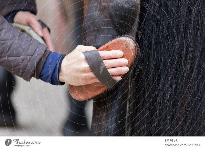 Vertrauen muss sein - striegeln des hinteren Pferdebeins Frau Mensch Tier Freude Erwachsene Lifestyle Sport Glück Freizeit & Hobby Zufriedenheit authentisch