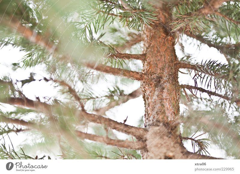 weihnachtsbaum nach weihnachten Umwelt Natur Pflanze Baum Grünpflanze grün Farbfoto Baumstamm Baumrinde Nadelbaum Tannenzweig Menschenleer Unschärfe
