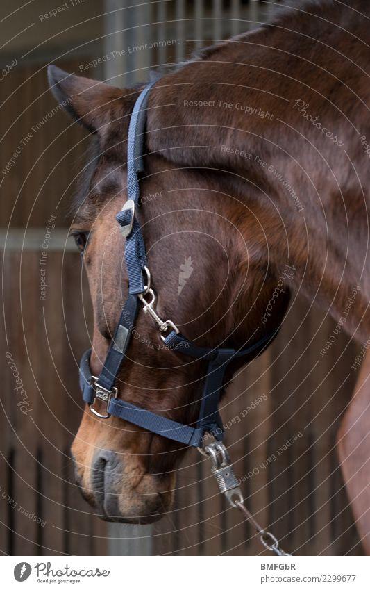 Wo gehts in meine Box? Lifestyle Freude Glück Sport Reitsport Reiten Tier Haustier Nutztier Pferd 1 beobachten Blick authentisch schön Zufriedenheit Kraft