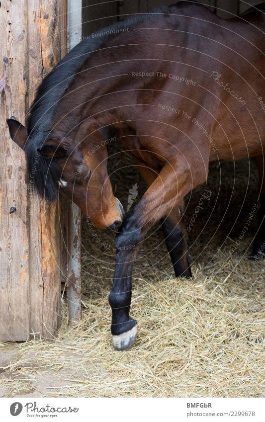 Brown Beauty inklusive Stern Lifestyle elegant Stil Freizeit & Hobby Reiten Sport Reitsport Tier Haustier Nutztier Pferd 1 schön muskulös sportlich braun Kraft