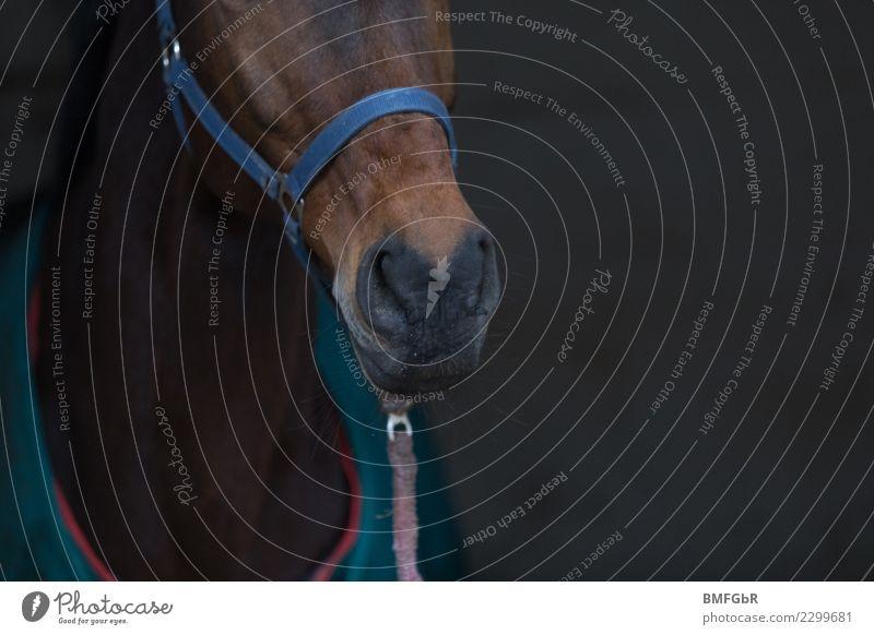 Frei Schnauze Lifestyle Stil Freizeit & Hobby Reiten Tier Haustier Nutztier Pferd Nüstern 1 Halfter Pferdedecke Strick lustig Tierliebe Brauner Fell Säugetier