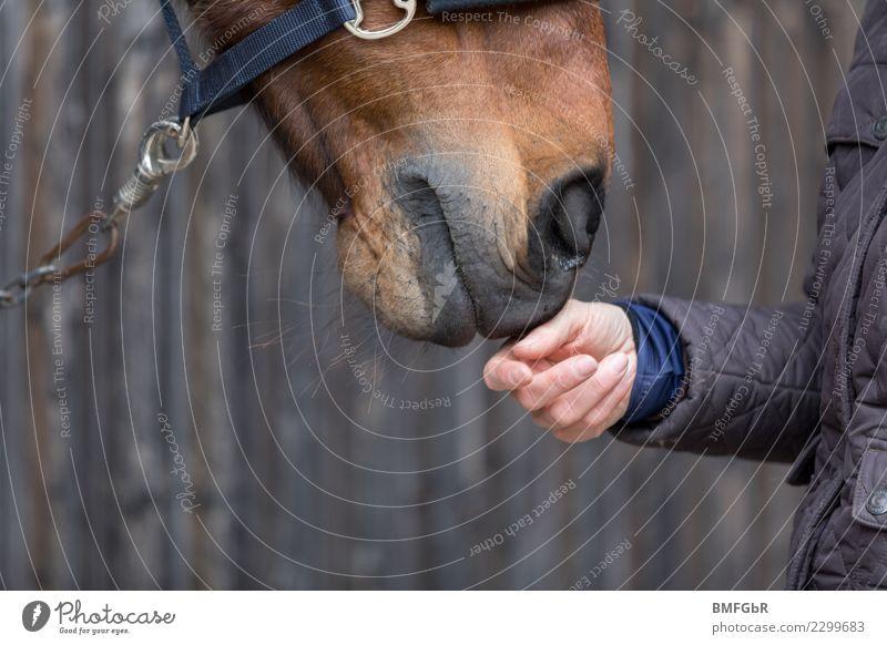 Freundschaft zwischen Pferd und Reiter Lifestyle Glück Freizeit & Hobby Reiten Sport Reitsport Mensch feminin Frau Erwachsene Hand 1 Jacke Tier Haustier