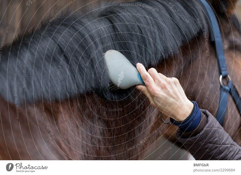 Beim Pferdefriseur Frau Mensch Hand Tier Freude Erwachsene Lifestyle Sport Glück Freiheit braun Freizeit & Hobby authentisch Reinigen Haustier
