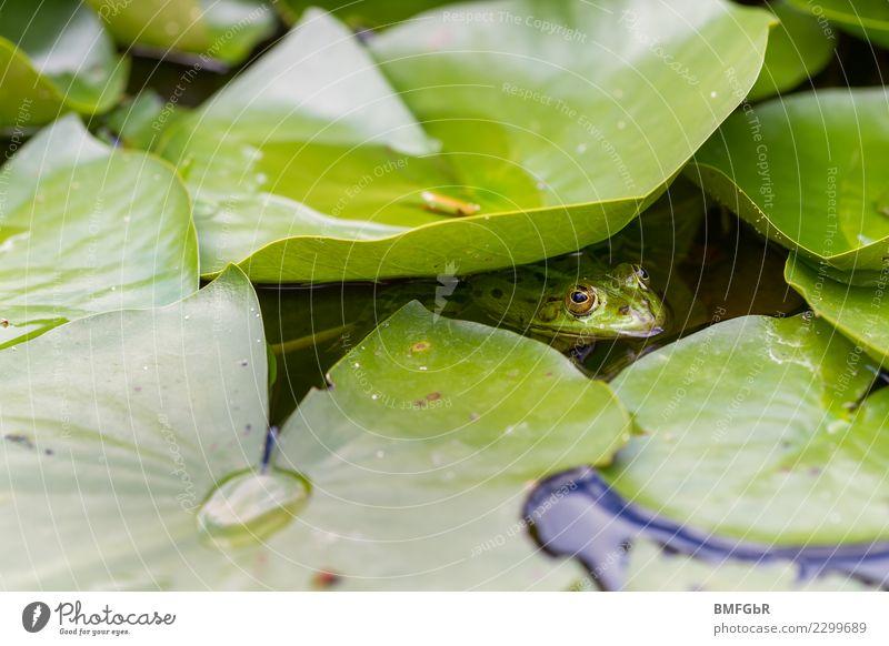 Frosch im Teich Umwelt Natur Landschaft Pflanze Tier Wasser Frühling Sommer Blatt Seerosen Wasserpflanze Garten Park Moor Sumpf Wildtier Gartenteich 1