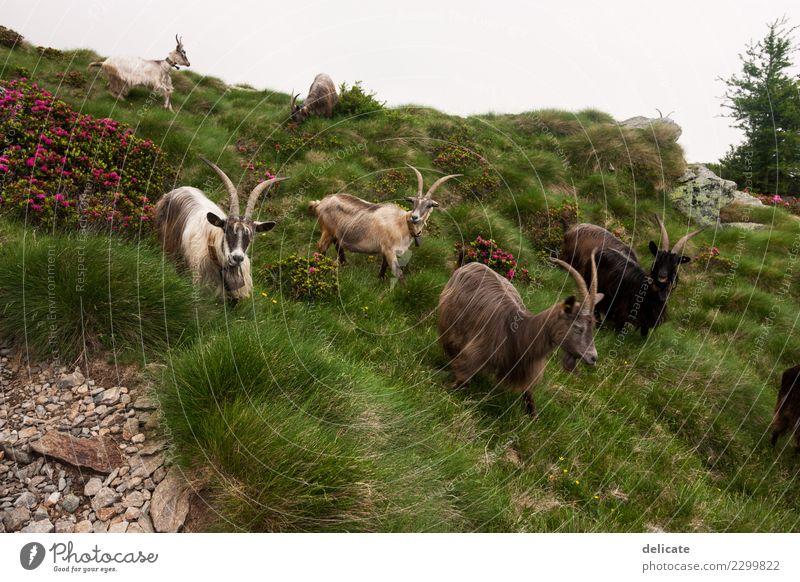 Ziegen Natur Ferien & Urlaub & Reisen Sommer Tier Wald Berge u. Gebirge Herbst Wiese Tourismus Freiheit Ausflug wandern Feld Wildtier Sträucher Abenteuer