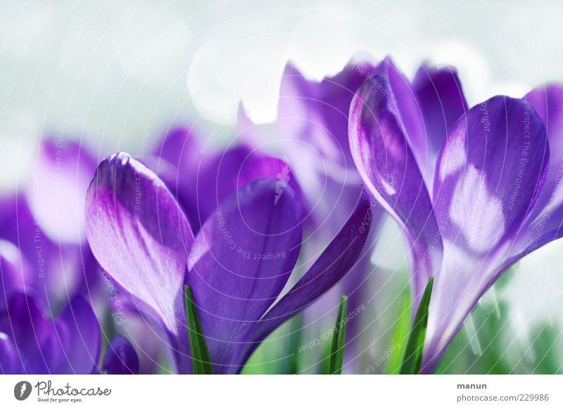 violett Natur Frühling Blume Blüte Krokusse Frühlingsblume fantastisch hell schön natürlich Frühlingsgefühle Duft Farbfoto Außenaufnahme Nahaufnahme