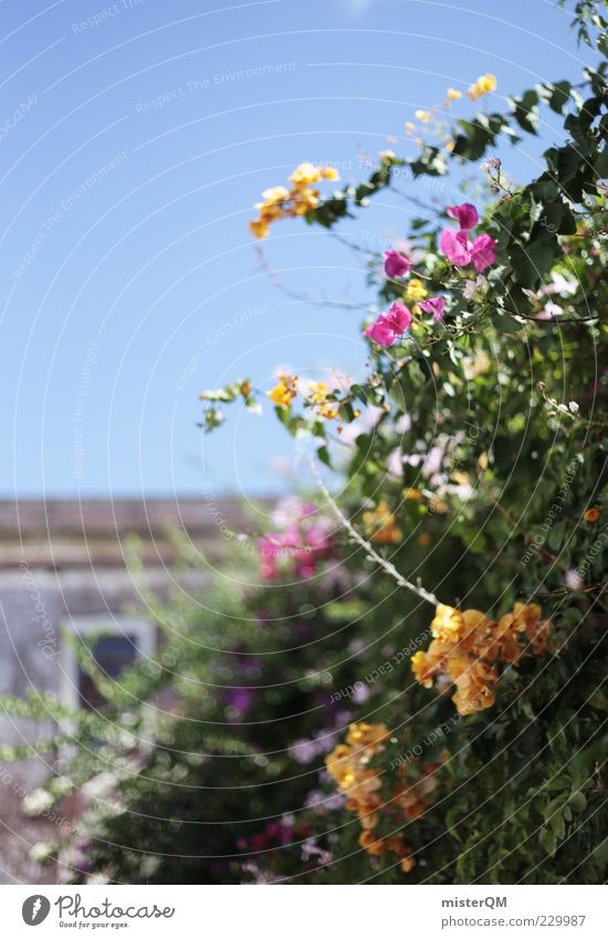 Süden. Pflanze Blume Erholung Garten Blüte Mauer ästhetisch Wachstum Romantik Blühend Schönes Wetter Spanien Fernweh Blauer Himmel Portugal Wolkenloser Himmel
