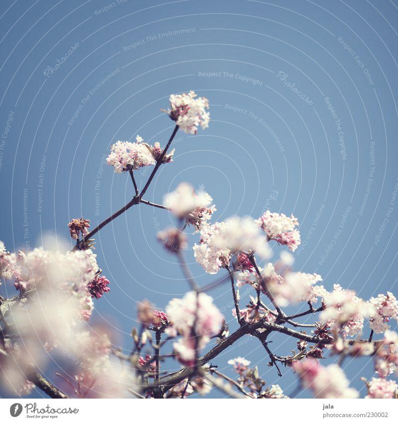 früüüüühling :-) Wolkenloser Himmel Frühling Pflanze Blüte Frühlingsgefühle Vorfreude rosa hell-blau Farbfoto Außenaufnahme Menschenleer Textfreiraum oben