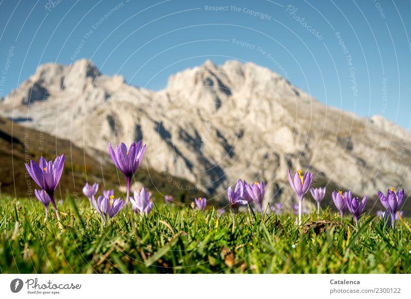 Bergblumen Sommerurlaub Berge u. Gebirge wandern Pflanze Wolkenloser Himmel Schönes Wetter Blume Gras Blüte Krokusse Wiese Gipfel Blühend Duft verblüht