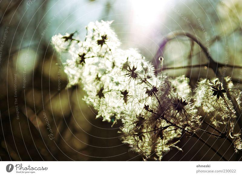 Into the light Natur Pflanze Blüte Frühling hell Hoffnung Warmherzigkeit Gelassenheit vertrocknet Vorsicht Pollen Zweige u. Äste Güte Wildpflanze durchleuchtet