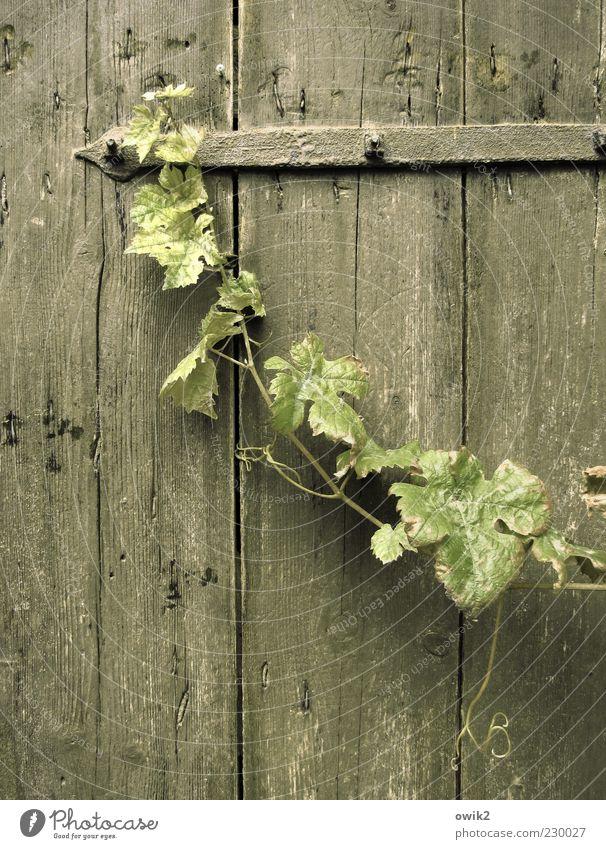 Alte Kellertür Natur alt grün Pflanze Blatt ruhig grau Holz Metall elegant wild Wachstum Wandel & Veränderung Trauer einzigartig Vergänglichkeit