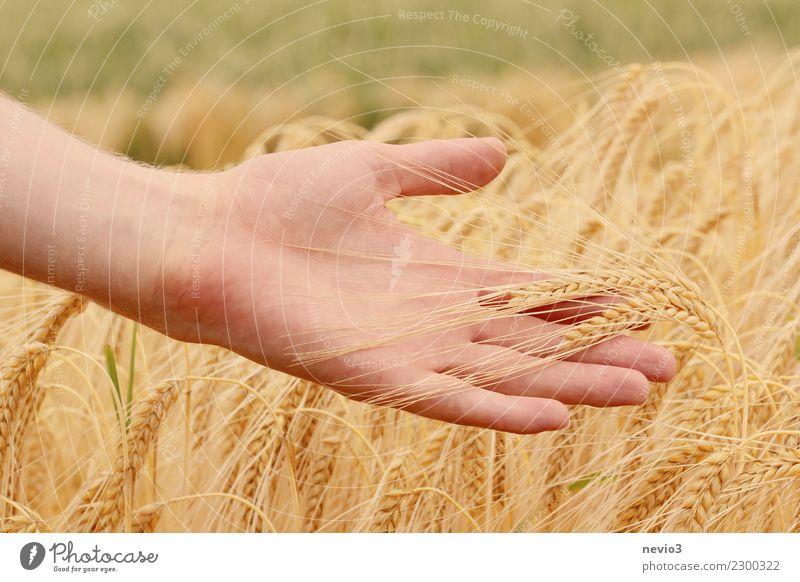 Hand hält Gerstenähren Getreide schön Nutzpflanze Getreidefeld Getreideernte Wiese frisch Gesundheit gelb gold Finger streichen Ähren Granne Landwirtschaft Feld