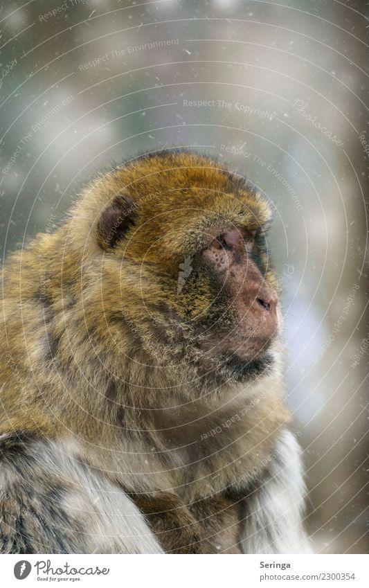 Ungläubiger Blick Tier Wildtier Tiergesicht Fell Zoo 1 Affen Farbfoto Gedeckte Farben mehrfarbig Außenaufnahme Nahaufnahme Detailaufnahme Menschenleer
