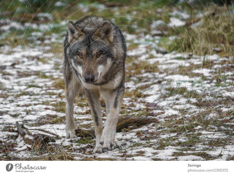 Wolfsblick Tier Wildtier Hund Tiergesicht Pfote Zoo 1 Bewegung Europäischer Wolf Fell Farbfoto Gedeckte Farben mehrfarbig Außenaufnahme Detailaufnahme