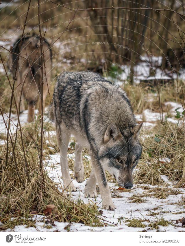 Entgegengesetzte Richtung Tier Wildtier Hund Tiergesicht Fell Pfote Fährte Zoo 1 Tierpaar Fressen Europäischer Wolf Farbfoto Gedeckte Farben mehrfarbig