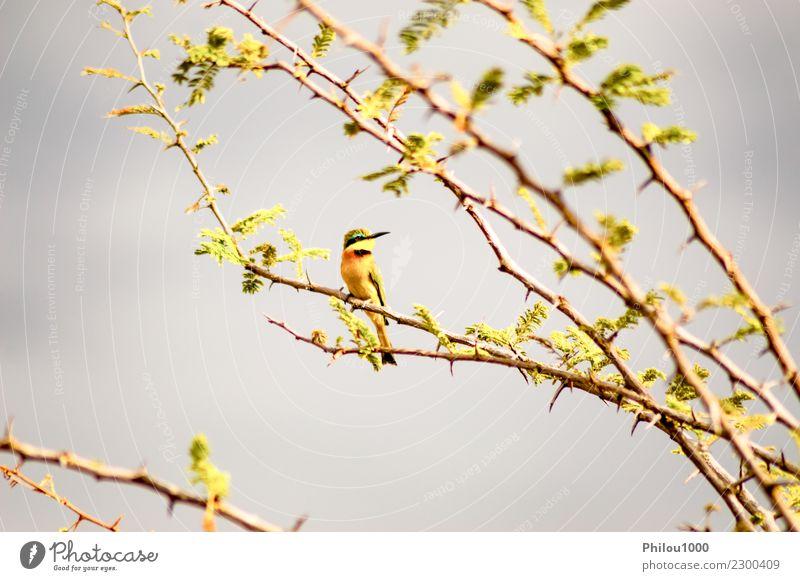 Kolibri, der auf einer schwarzen Akazienniederlassung sitzt Design Garten Mann Erwachsene Natur Tier Blume Blüte Vogel Tiergesicht 1 fliegen füttern hell klein