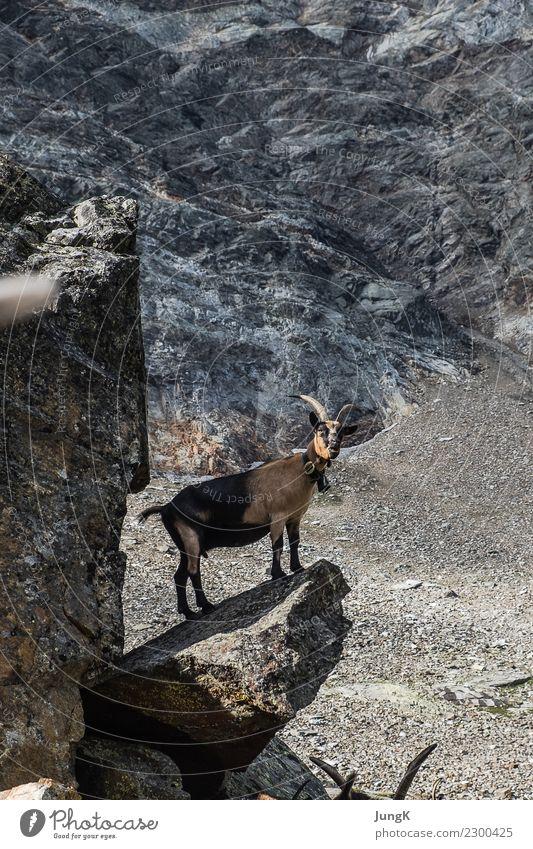 Ausguck Berge u. Gebirge wandern Natur Landschaft Felsen Alpen Tier Ziege 1 stehen warten einfach frei Tierliebe Gelassenheit ruhig Neugier Interesse Abenteuer