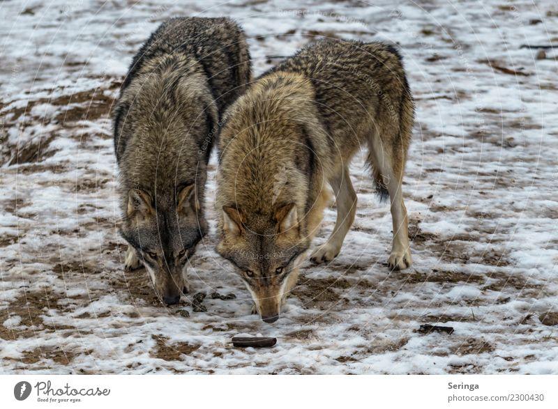 Zwei Supernasen Tier Wildtier Hund Tiergesicht Fell Pfote Zoo 2 Tierpaar Fressen Wolf Europäischer Wolf Farbfoto Gedeckte Farben mehrfarbig Außenaufnahme