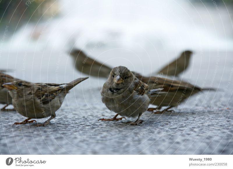 Spatzenaufstand Bewegung klein Stein Vogel Beton Tiergruppe Neugier hören nah Wachsamkeit kämpfen Makroaufnahme geduldig achtsam gefiedert