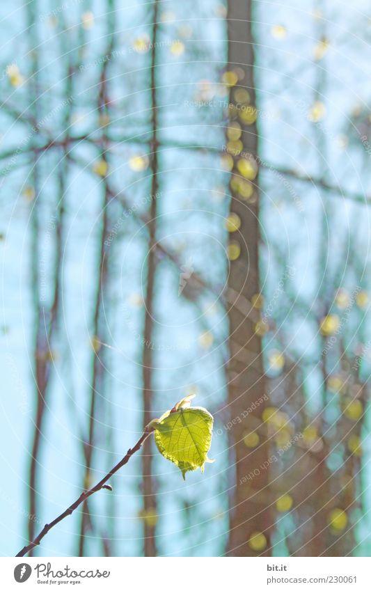 Frühlings - Aufmarsch Umwelt Pflanze Luft Himmel Wolkenloser Himmel Sonnenlicht Sommer Schönes Wetter Baum Blatt Grünpflanze Wald Linie glänzend saftig blau