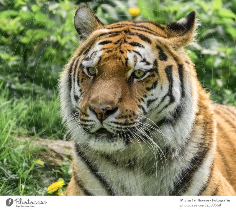 Sibirischer Tiger / Amurtiger Porträt Umwelt Natur Tier Sonne Sonnenlicht Schönes Wetter Gras Wildpflanze Wildtier Tiergesicht Fell Auge Blick Maul Ohr Nase