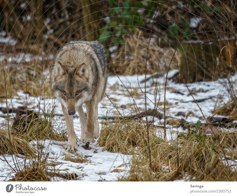 Europäischer Wolf alleine unterwegs Tier Wildtier Tiergesicht Fell Pfote Fährte Zoo 1 Fressen laufen Außenaufnahme Menschenleer Textfreiraum rechts