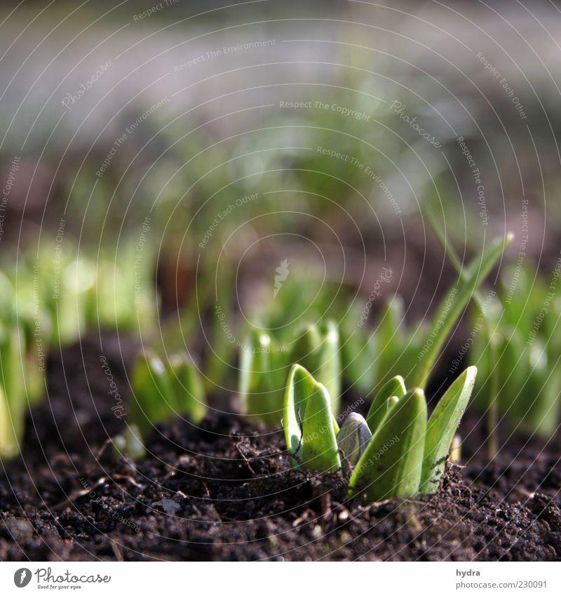 endlich Frühlinge! Erde Pflanze Blume Blatt Hyazinthe Blütenknospen Jungpflanze sprießen Wachstum frisch klein natürlich grün Frühlingsgefühle Natur Unschärfe