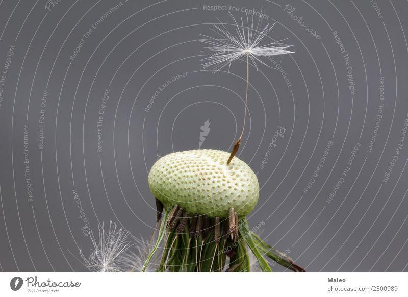 Der letzte Löwenzahnsamen Samen schön Natur Blume Pflanze Makroaufnahme Botanik Single Unkraut Sommer 1 weiß zerbrechlich Stengel Wind Detailaufnahme kopf