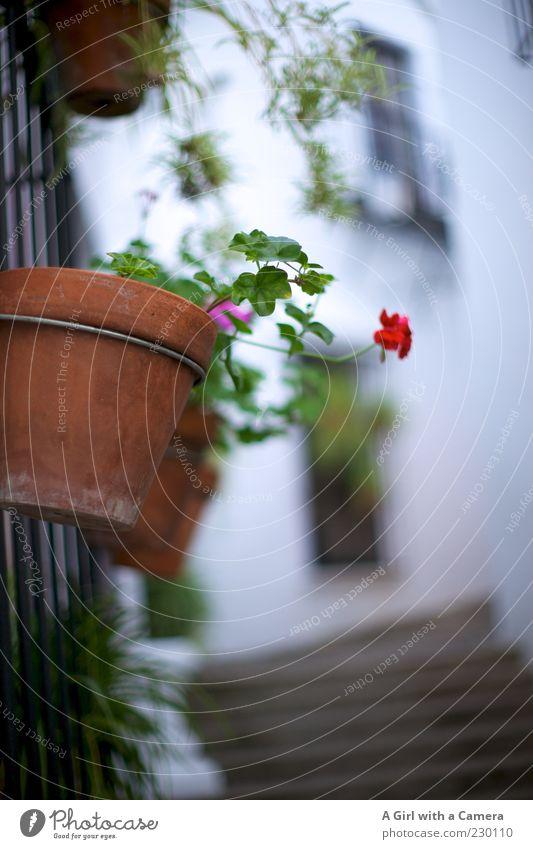 Gassenschmuck weiß Blume Wand Mauer Fassade Treppe Wachstum authentisch außergewöhnlich Dekoration & Verzierung hängen Blumentopf verschönern mediterran Pflanze