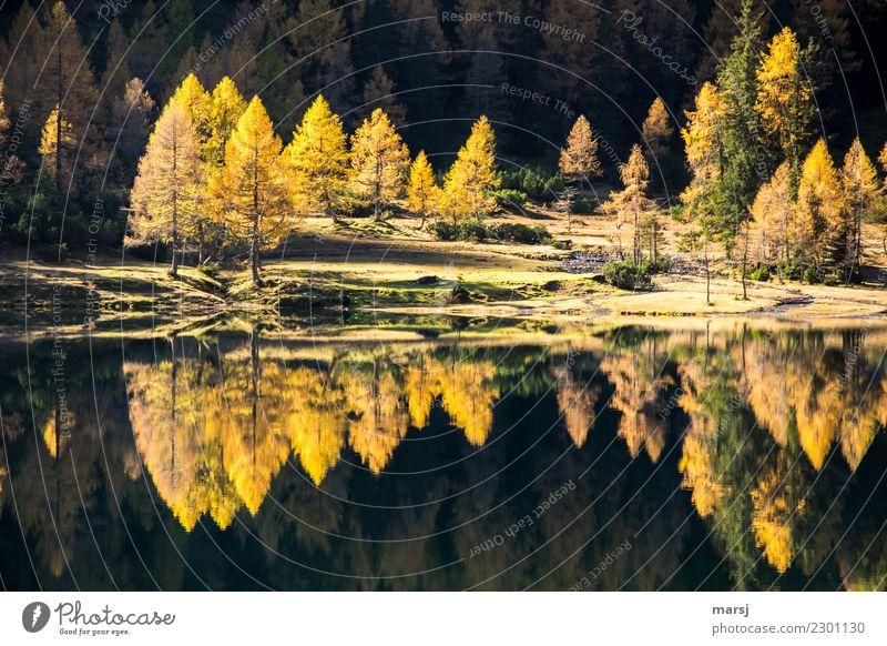 drunter und drüber | Doppeltes Lärchengold Berge u. Gebirge wandern Herbst Pflanze Wald See Duisitzkarsee leuchten außergewöhnlich fantastisch