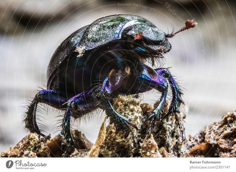 """Nahaufnahme von einem Waldmistkäfer Tier Wildtier 1 krabbeln laufen Natur """"Käfer Naturschutz Mistkäfer Anoplotrupes stercorosus"""" Farbfoto Außenaufnahme"""