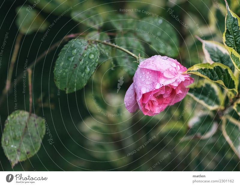 Zuneigung Pflanze Wasser Sommer Blume Rose Blatt Blüte Menschenleer grün rosa Regen Neigung Farbfoto Außenaufnahme Nahaufnahme Textfreiraum links