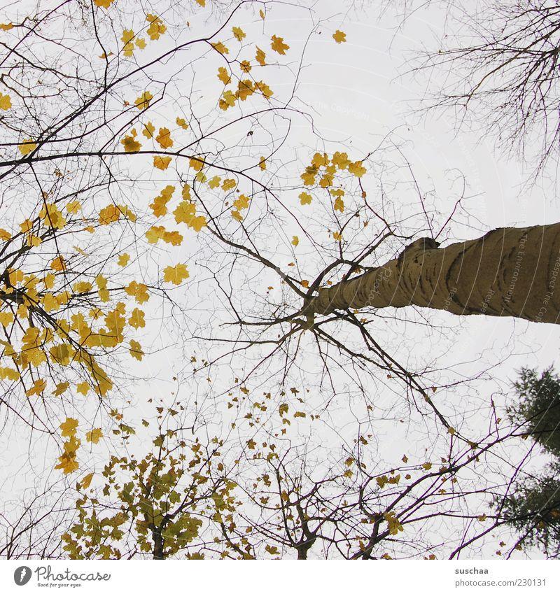 baum hoch gucken .. Umwelt Natur Landschaft Himmel Herbst Klima Klimawandel Wetter Schönes Wetter Baum Wald Holz Baumstamm Ast Blatt Baumkrone Gedeckte Farben