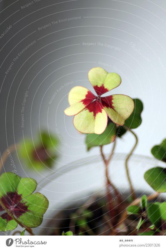 Glück Wellness Zufriedenheit Silvester u. Neujahr Geburtstag Natur Frühling Klee Kleeblatt vierblättrig Zeichen Glücksbringer Glücksklee leuchten Wachstum
