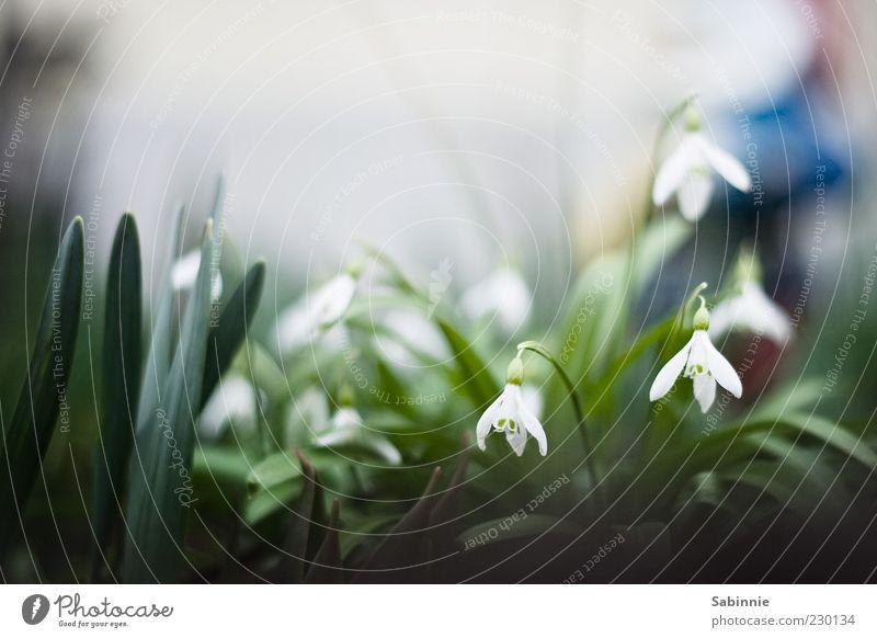 Frühling kriecht aus seinem Loche Garten Pflanze Blatt Blüte Grünpflanze Schneeglöckchen Krokusse klein wild grün weiß Vorgarten Frühlingsgefühle Frühblüher
