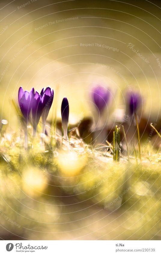 Sonnenenergie Natur grün schön Pflanze Blume gelb Umwelt Garten Blüte Frühling hell violett Blühend Schönes Wetter Duft