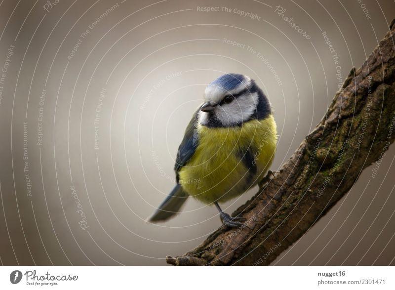 Blaumeise Umwelt Natur Tier Frühling Sommer Herbst Winter Schönes Wetter Nebel Baum Sträucher Ast Garten Park Wald Wildtier Vogel Tiergesicht Flügel Krallen