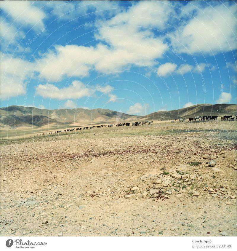 barranco de la costilla Sommer Umwelt Landschaft Klima Schönes Wetter Wärme Dürre Hügel Insel Fuerteventura Nutztier Ziegen Herde frei trocken wild Mittelformat