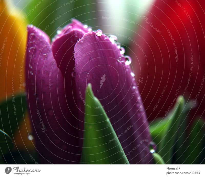 importierter frühling Natur rot Pflanze Blume Farbe gelb Frühling glänzend nass natürlich frisch Wassertropfen Dekoration & Verzierung Romantik Vergänglichkeit Tropfen