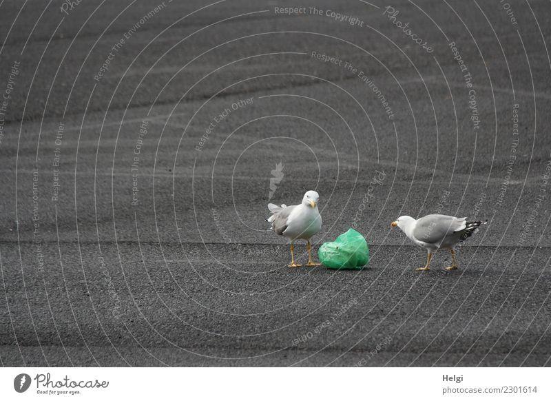 meins oder deins? Parkplatz Tier Wildtier Vogel Möwe 2 Müll Beutel Kunststoff beobachten Blick Konflikt & Streit authentisch einzigartig gelb grau grün weiß