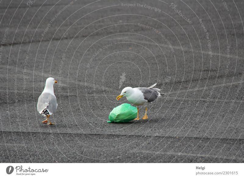 doch MEINS! Umwelt Tier Parkplatz Wildtier Vogel Möwe 2 Asphalt Müll Müllsack Kunststoff beobachten liegen Blick stehen Konflikt & Streit authentisch