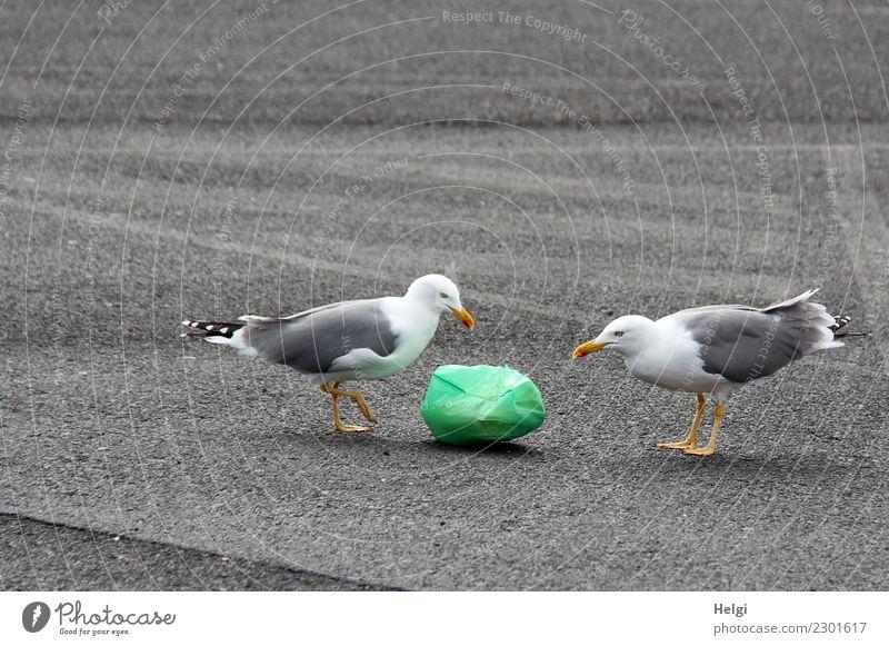 okay ... Umwelt Pflanze Tier Wildtier Vogel Möwe 2 Müll Müllsack Kunststoff beobachten liegen Blick stehen authentisch Zusammensein einzigartig gelb grau grün