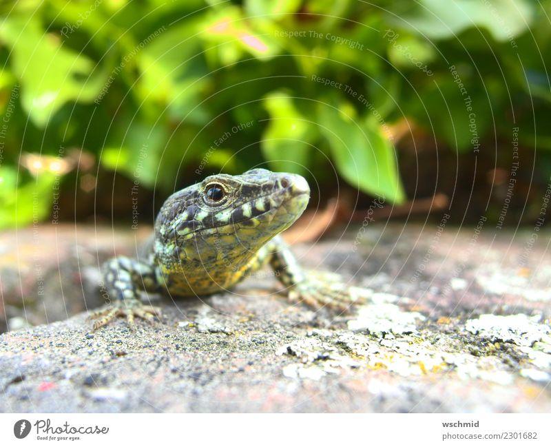 Eidechse auf Mauer Natur grün Tier schwarz gelb Umwelt Glück grau liegen Wildtier sitzen beobachten Neugier Umweltschutz frech Interesse