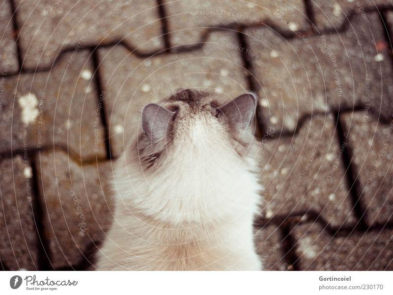 Ich sehe dich. Tier Haustier Katze Fell 1 braun langhaarig Katzenkopf Ohr Akromelanismus Farbfoto Außenaufnahme Textfreiraum oben Kontrast