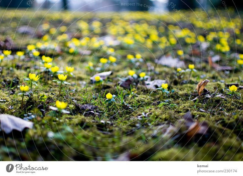Gelbe Erstblüher Umwelt Natur Pflanze Frühling Klima Blume Moos Blatt Blüte Wildpflanze Blühend Wachstum gelb grün Frühlingsgefühle Frühblüher Winterlinge