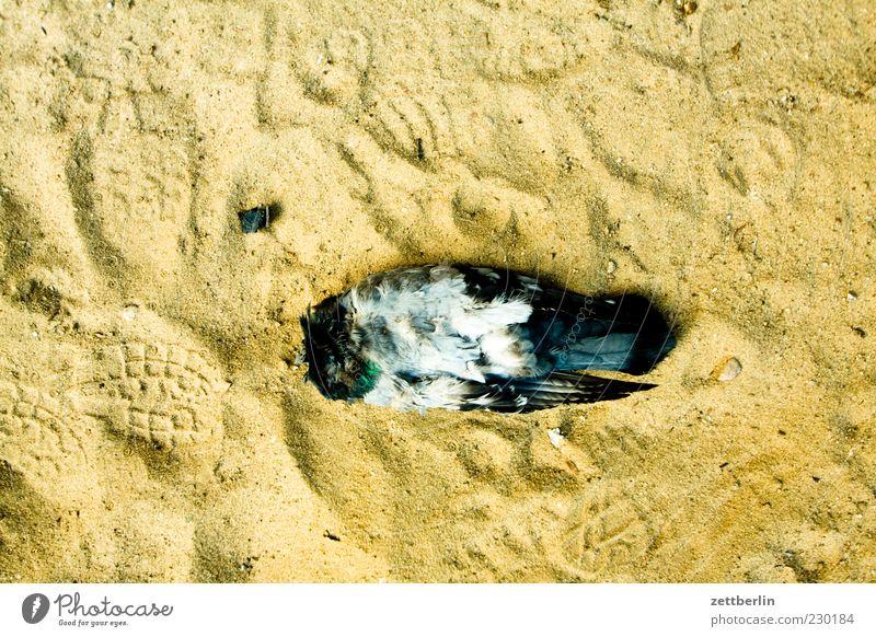 Taube (kopflos) Tier Tod Sand liegen Flügel Feder Vogel Vogelperspektive Makroaufnahme Totes Tier