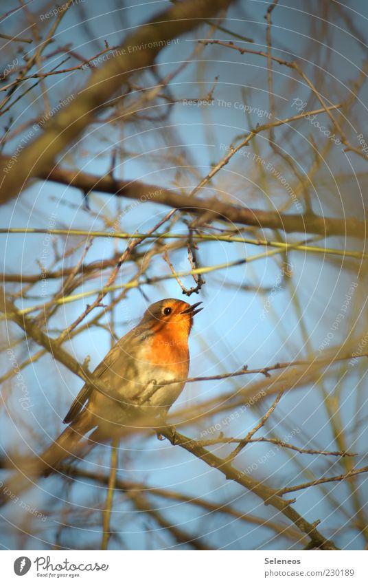 kleiner Piepmatz Himmel Natur Baum Pflanze Sommer Tier Umwelt Frühling Vogel sitzen Wildtier Flügel Tiergesicht Zweig Schnabel