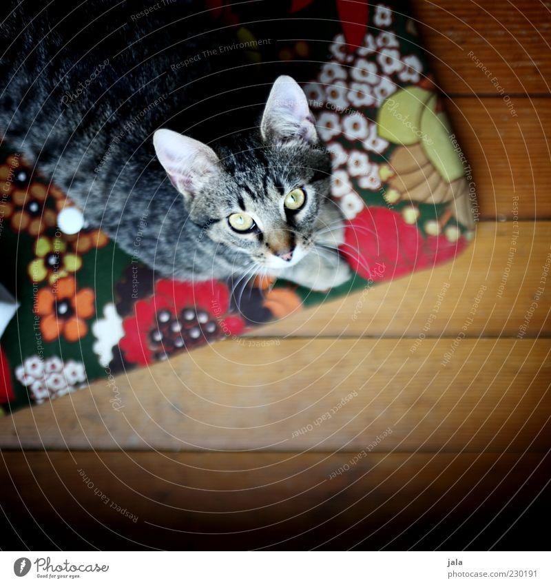 kraul mich! Katze Tier warten Tiergesicht Fell Haustier Parkett Kissen hocken mehrfarbig betteln Katzenauge Katzenkopf Katzenohr